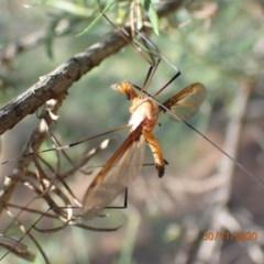 Leptotarsus (Macromastix) costalis (Common Brown Crane Fly) at Majura, ACT - 29 Nov 2020 by Ghostbat