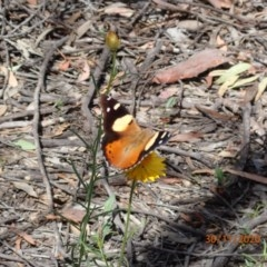 Vanessa itea (Yellow Admiral) at Campbell, ACT - 29 Nov 2020 by Ghostbat