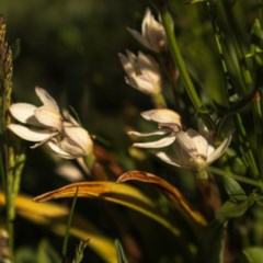 Caladenia alpina (Mountain caps) at Kosciuszko National Park - 28 Nov 2020 by trevsci
