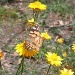 Vanessa kershawi (Australian Painted Lady) at Campbell, ACT - 29 Nov 2020 by Ghostbat