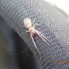 Tmarus marmoreus (Marbled crab spider) at Campbell, ACT - 29 Nov 2020 by Ghostbat