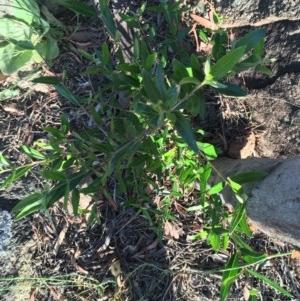 Olea europaea subsp. cuspidata at Hughes Garran Woodland - 30 Nov 2020