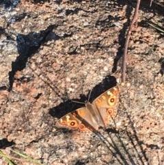 Junonia villida (Meadow Argus) at Hughes, ACT - 29 Nov 2020 by Tapirlord