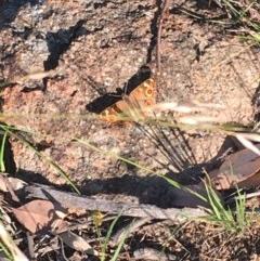 Junonia villida at Hughes Garran Woodland - 30 Nov 2020