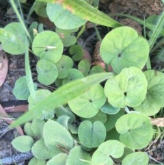 Dichondra repens (Kidney Weed) at Hughes Garran Woodland - 29 Nov 2020 by Tapirlord
