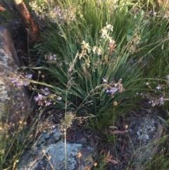 Dianella sp. aff. longifolia (Benambra) at Hughes Garran Woodland - 30 Nov 2020