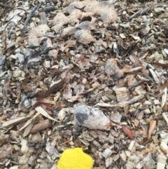 Fuligo septica (Scrambled egg slime mould) at Belconnen, ACT - 29 Nov 2020 by jgiacon