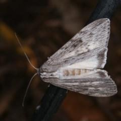 Capusa senilis (Black-banded Wedge-moth) at Melba, ACT - 13 Nov 2020 by kasiaaus