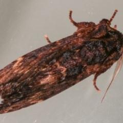 Sorama bicolor at Melba, ACT - 13 Nov 2020