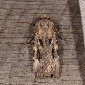 Agrotis munda at Melba, ACT - 13 Nov 2020