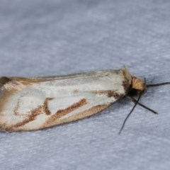Philobota cretacea (A concealer moth) at Melba, ACT - 13 Nov 2020 by kasiaaus