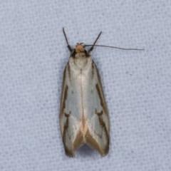 Philobota cretacea at Melba, ACT - 13 Nov 2020
