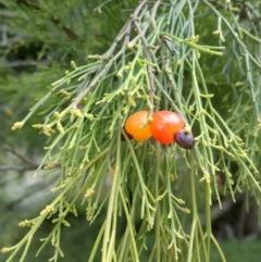 Exocarpos cupressiformis (Cherry Ballart) at Mount Majura - 2 Dec 2020 by abread111