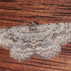 Psilosticha absorpta (Fine-waved Bark Moth) at Melba, ACT - 13 Nov 2020 by kasiaaus