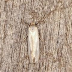 Philobota productella (Pasture Tunnel Moth) at Melba, ACT - 13 Nov 2020 by kasiaaus