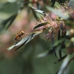 Eristalinus punctulatus (Native Drone Fly) at Cook, ACT - 26 Nov 2020 by Tammy