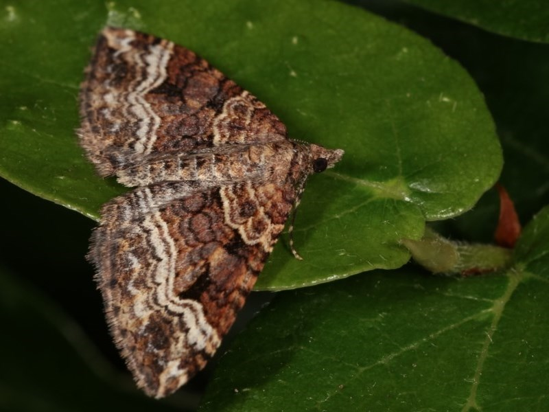 Epyaxa subidaria at Melba, ACT - 13 Nov 2020