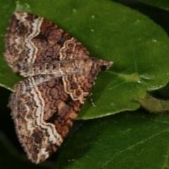 Epyaxa subidaria (Subidaria Moth) at Melba, ACT - 13 Nov 2020 by kasiaaus