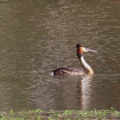 Podiceps cristatus (Great Crested Grebe) at Splitters Creek, NSW - 29 Nov 2020 by Kyliegw