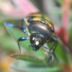 Castiarina octospilota (8-spot jewel beetle) at Black Mountain - 24 Nov 2020 by Harrisi