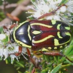 Eupoecila australasiae (Fiddler Beetle) at Mount Jerrabomberra - 25 Nov 2020 by Harrisi