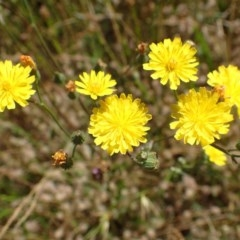 Crepis capillaris (Smooth Hawksbeard) at Mount Painter - 1 Dec 2020 by RWPurdie