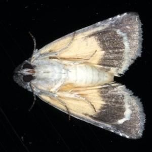 Prorocopis euxantha at Ainslie, ACT - 30 Nov 2020