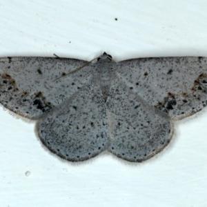 Taxeotis intextata at Ainslie, ACT - 30 Nov 2020