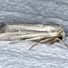 Leucania stenographa at Ainslie, ACT - 30 Nov 2020