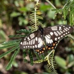 Papilio anactus (Dainty Swallowtail) at ANBG - 30 Nov 2020 by Roger