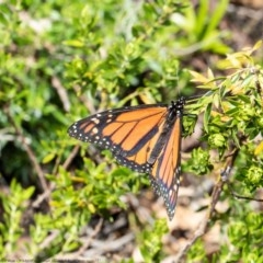 Danaus plexippus (Monarch/Wanderer) at ANBG - 30 Nov 2020 by Roger