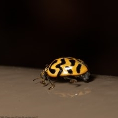 Cleobora mellyi (Southern Ladybird) at ANBG - 1 Dec 2020 by Roger