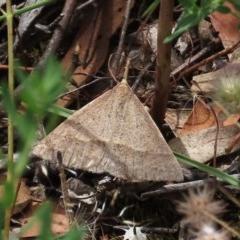 Epidesmia hypenaria (Long-nosed Epidesmia) at Tuggeranong Hill - 30 Nov 2020 by Owen