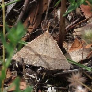 Epidesmia hypenaria at Tuggeranong Hill - 30 Nov 2020