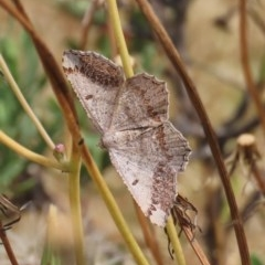 Dissomorphia australiaria (Dissomorphia australiaria) at Theodore, ACT - 30 Nov 2020 by Owen