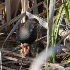 Zapornia tabuensis (Spotless Crake) at Jerrabomberra Wetlands - 26 Nov 2020 by rawshorty