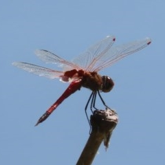Tramea loewii (Common Glider) at Jerrabomberra Wetlands - 1 Dec 2020 by roymcd