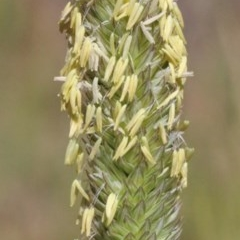 Phalaris aquatica (Phalaris) at Dryandra St Woodland - 30 Nov 2020 by ConBoekel