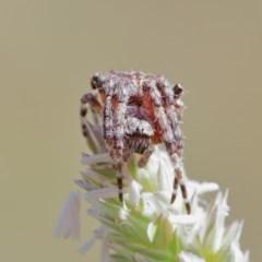Araneinae (subfamily) at Dryandra St Woodland - 1 Dec 2020
