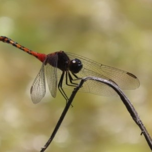 Diplacodes melanopsis at Jerrabomberra Wetlands - 1 Dec 2020