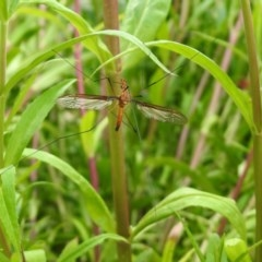 Leptotarsus (Macromastix) costalis (Common Brown Crane Fly) at Macarthur, ACT - 1 Dec 2020 by RodDeb
