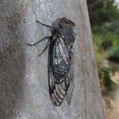 Psaltoda moerens (Redeye Cicada) at ANBG - 29 Nov 2020 by RodDeb