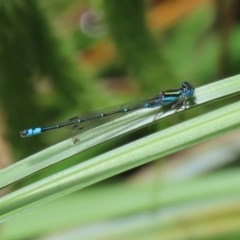 Austroagrion watsoni (Eastern Billabongfly) at ANBG - 30 Nov 2020 by RodDeb