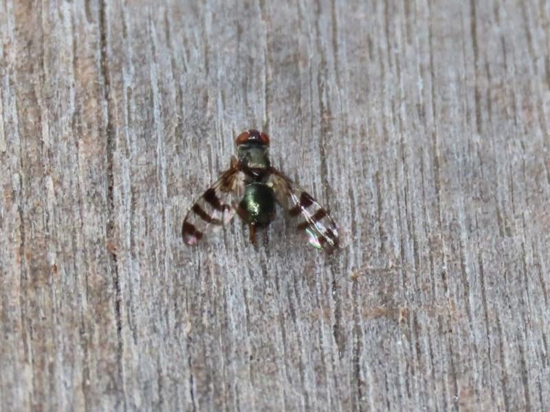 Rivellia sp. (genus) at ANBG - 30 Nov 2020