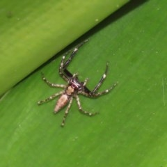 Helpis minitabunda (Jumping spider) at ANBG - 29 Nov 2020 by RodDeb