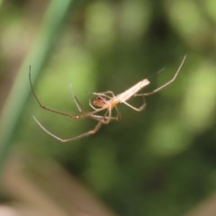 Tetragnatha sp. (genus) (Long-jawed spider) at ANBG - 30 Nov 2020 by RodDeb