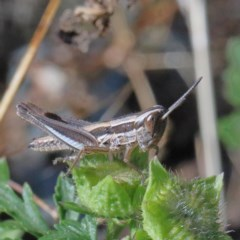 Macrotona australis (Common Macrotona Grasshopper) at Dryandra St Woodland - 30 Nov 2020 by ConBoekel