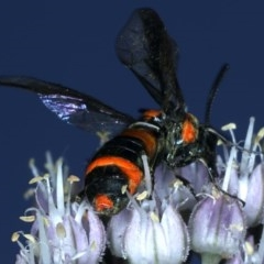 Pterygophorus cinctus at Ainslie, ACT - 29 Nov 2020