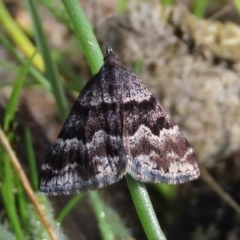 Dichromodes ainaria (A geometer or looper moth) at Theodore, ACT - 12 Oct 2020 by Owen