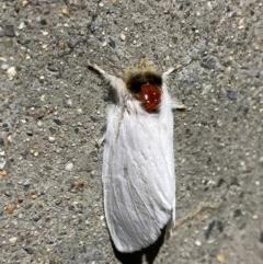Trichiocercus sparshalli (Sparshall's Moth) at Pialligo, ACT - 1 Dec 2020 by Ghostbat